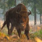 ubr Bison bonasus 0018