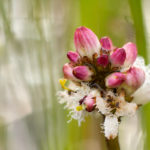 Bobrek trójlistkowy Menyanthes trifoliata 6195