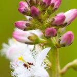 Bobrek trójlistkowy Menyanthes trifoliata 6223