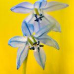Cebulica wiosenna Scilla verna 7306