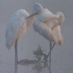 Czapla biała Egretta alba 0011
