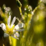 Gwiazdnica wielkokwiatowa Stellaria holostea 2183