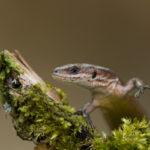 Jaszczurka zwinka Lacerta agilis 5942