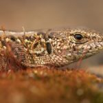 Jaszczurka zwinka Lacerta agilis Lukasik 0005