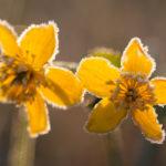 Knieć błotna Caltha palustris 2042