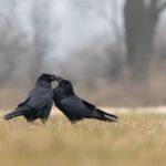 Kruk Corvus corax 0002