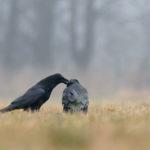 Kruk Corvus corax 0040