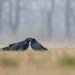 Kruk Corvus corax 0059