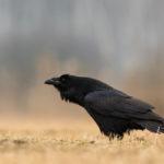 Kruk Corvus corax 0187