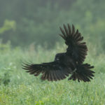 Kruk (Corvus corax) 0547
