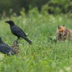 Kruk (Corvus corax) 4949