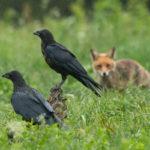 Kruk (Corvus corax) 4952