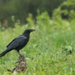 Kruk (Corvus corax) 5023