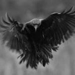 Kruk Corvus corax 5051
