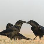 Kruk Corvus corax 5953