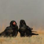 Kruk Corvus corax 6027