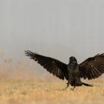 Kruk Corvus corax 6036