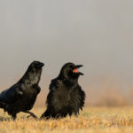 Kruk Corvus corax 6038