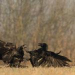 Kruk Corvus corax 6063