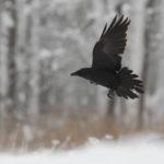Kruk Corvus corax 6948 2