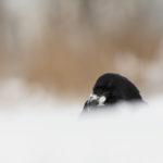 Kruk Corvus corax 7131