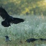 Kruk Corvus corax 8953