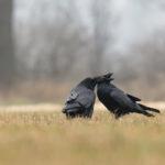 Kruk Corvus corax 9966
