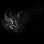Lis (Vulpes vulpes) 8222
