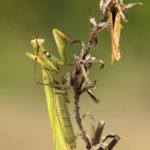 Modliszka zwyczajna Mantis religiosa 6349