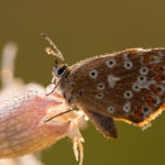 Modraszek korydon Polyommatus coridon 5525