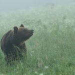 Niedźwiedź brunatny Ursus arctos 0033