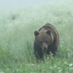 Niedźwiedź brunatny Ursus arctos 0044