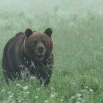 Niedźwiedź brunatny Ursus arctos 0054