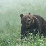 Niedźwiedź brunatny Ursus arctos 0090