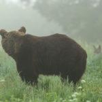 Niedźwiedź brunatny Ursus arctos 0156