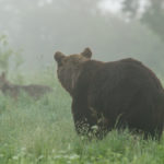 Niedźwiedź brunatny Ursus arctos 0194