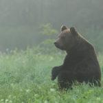 Niedźwiedź brunatny Ursus arctos 0321