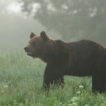 Niedźwiedź brunatny Ursus arctos 0341