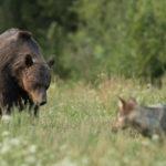 Niedźwiedź brunatny Ursus arctos 0701