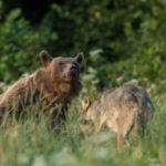 Niedźwiedź brunatny Ursus arctos 0707