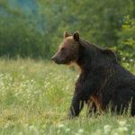 Niedźwiedź brunatny Ursus arctos 0876