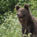 Niedźwiedź brunatny Ursus arctos 0983