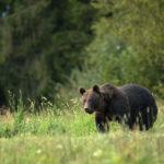 Niedźwiedź brunatny Ursus arctos 1229