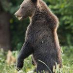 Niedźwiedź brunatny Ursus arctos 1240