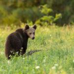 Niedźwiedź brunatny Ursus arctos 1479