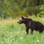 Niedźwiedź brunatny Ursus arctos 1490
