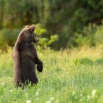 Niedźwiedź brunatny Ursus arctos 1499