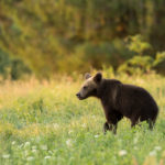 Niedźwiedź brunatny Ursus arctos 1526