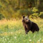 Niedźwiedź brunatny Ursus arctos 1533