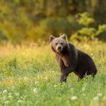 Niedźwiedź brunatny Ursus arctos 1537